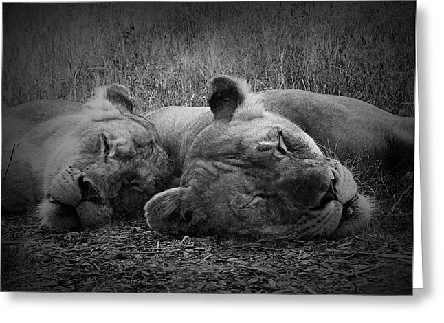 Lions Greeting Cards - Sleeping Lion Pair Greeting Card by Julie Keller