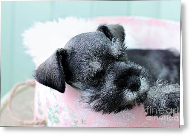 Gray Hair Greeting Cards - Sleeping Mini Schnauzer Greeting Card by Stephanie Frey