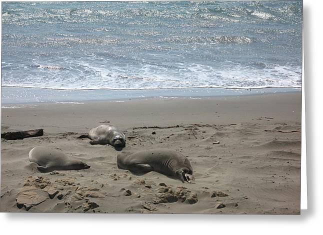 Best Sellers -  - Elephant Seals Greeting Cards - Sleeping on the Beach Greeting Card by Christiane Schulze Art And Photography
