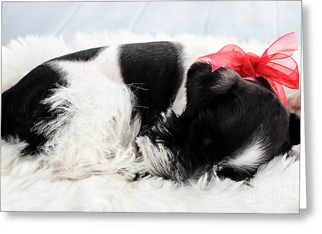 Black Fur Greeting Cards - Sleeping Parti Color Miniature Schnauzer Greeting Card by Stephanie Frey