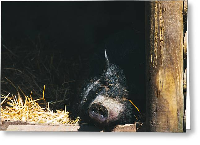 Lifestock Greeting Cards - Sleeping Potbelly Pig Greeting Card by Pati Photography