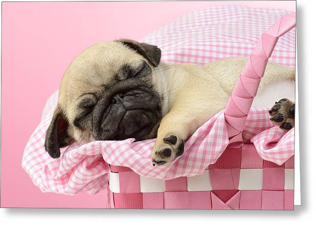 Puppies Greeting Cards - Sleeping Pug In Pink Basket Greeting Card by Greg Cuddiford