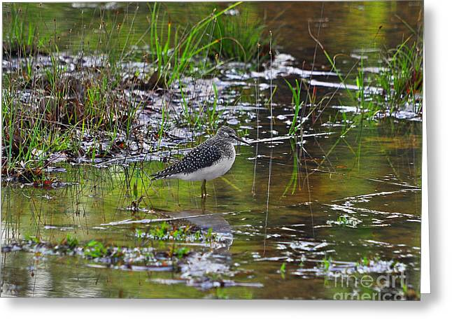 Shore Bird Print Greeting Cards - Sleeping Sandpiper Greeting Card by Al Powell Photography USA