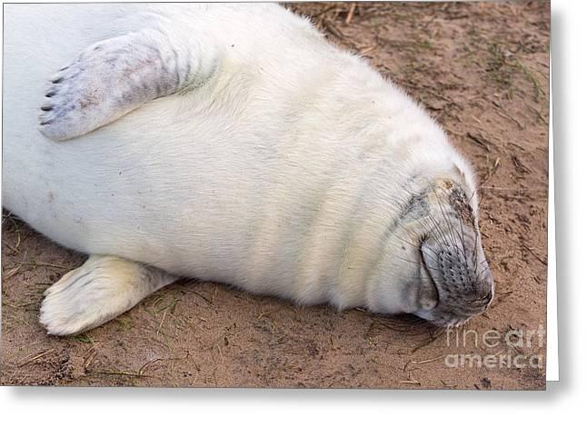 Fb Greeting Cards - Sleeping Seal Pup Greeting Card by Mark Monckton