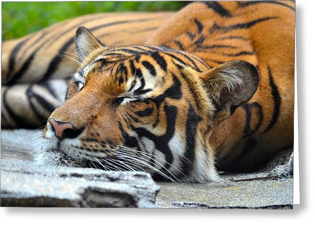 Jacksonville Greeting Cards - Sleeping Tiger Greeting Card by Richard Bryce and Family
