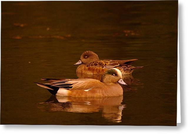 Migratory Bird Greeting Cards - Sleeping Wigeons  Greeting Card by Jeff  Swan