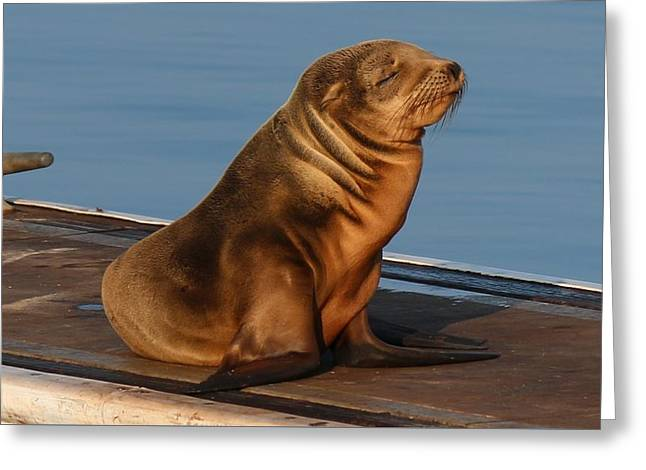 California Sea Lions Greeting Cards - Sleeping Wild Sea Lion Pup  Greeting Card by Christy Pooschke