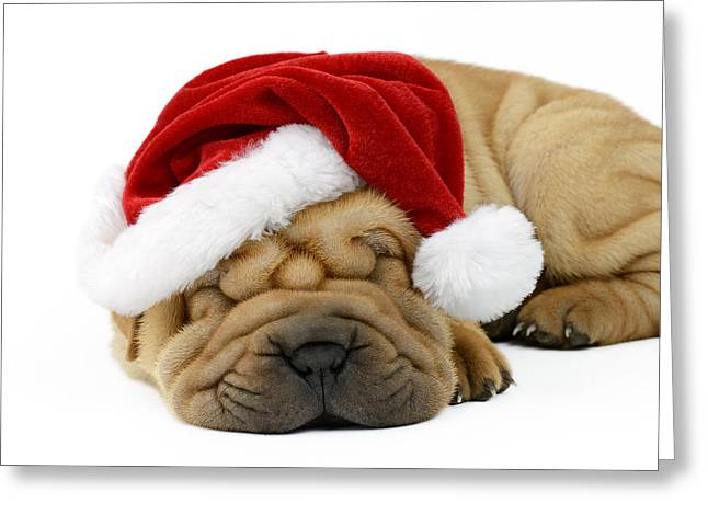 Christmas Eve Greeting Cards - Sleeping Xmas Pup Greeting Card by Greg Cuddiford