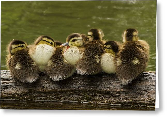 Ducklings Greeting Cards - Sleepy Babies Greeting Card by Mircea Costina Photography