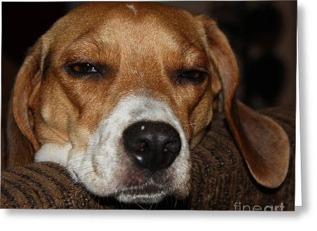 Dog Tired Greeting Card Greeting Cards - Sleepy Beagle Greeting Card by John Telfer