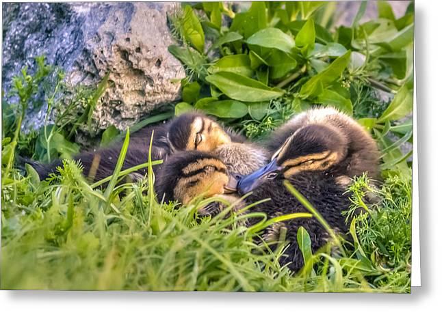 Baby Mallards Digital Art Greeting Cards - Sleepy Ducklings Greeting Card by Rob Sellers