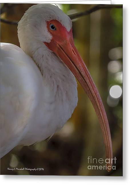 J N Ding Darling National Wildlife Refuge Greeting Cards - Sleepy Ibis Greeting Card by Nancy L Marshall