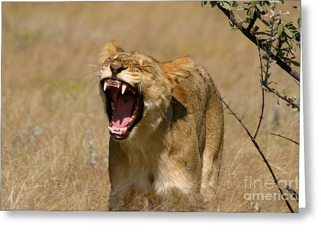 Best Sellers -  - Lioness Greeting Cards - Sleepy Lioness Greeting Card by Alison Kennedy-Benson