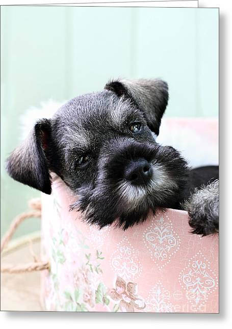 Cute Schnauzer Greeting Cards - Sleepy Mini Schnauzer Greeting Card by Stephanie Frey