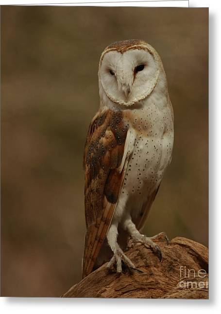 Shelley Myke Greeting Cards - Sleepy Morning Barn Owl Greeting Card by Inspired Nature Photography By Shelley Myke
