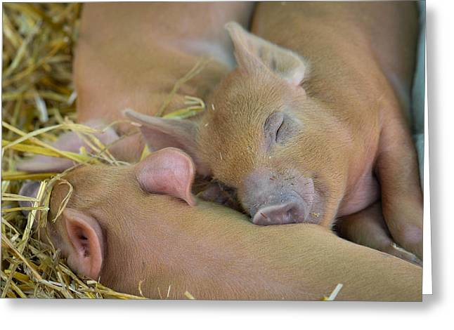 Piglets Greeting Cards - Sleepy Piglets Greeting Card by Amy Porter