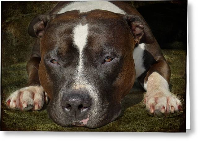 Dog Photographs Greeting Cards - Sleepy Pit Bull Greeting Card by Larry Marshall