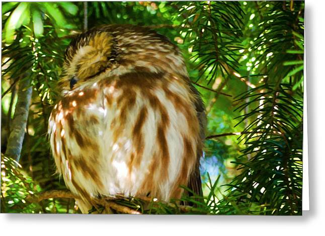 Saw Greeting Cards - Sleepy Saw-Whet Owl On A Sunny Afternoon Greeting Card by Jordan Blackstone