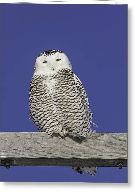 Snowy White Owl Greeting Cards - Sleepy Snowy Owl Greeting Card by Thomas Young
