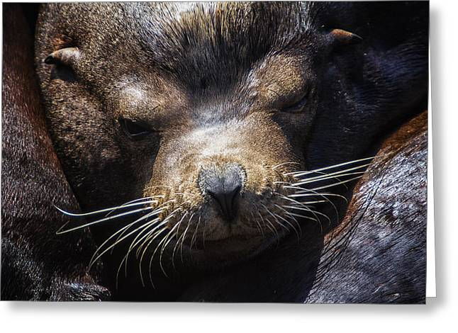 California Sea Lions Greeting Cards - Sleepyhead Sea Lion Greeting Card by Mark Kiver