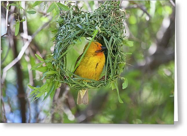 Slender-billed Weaver (ploceus Pelzelni Greeting Card by Jaynes Gallery