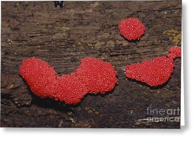 Amoebozoa Greeting Cards - Slime Mold Greeting Card by Larry West