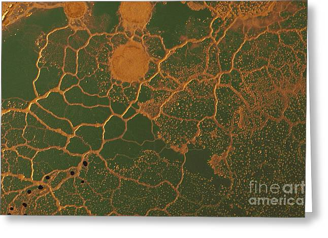 Biology Greeting Cards - Slime Mold Plasmodium Greeting Card by Biology Pics