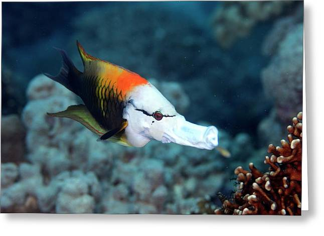 Sling-jaw Wrasse Greeting Card by Scubazoo