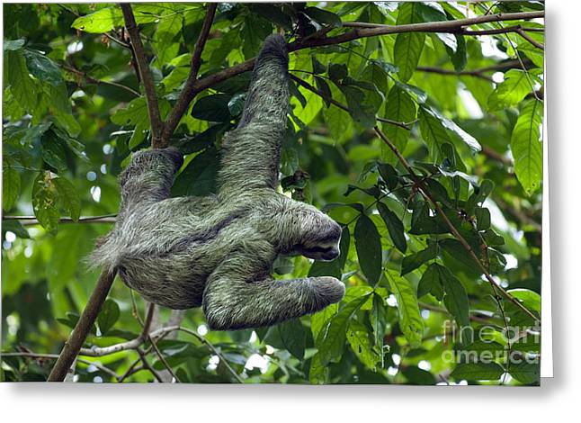 Brown-throated Three-toed Sloth Greeting Cards - Sloth 8 Greeting Card by Arterra Picture Library
