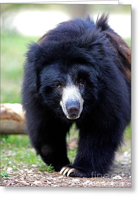 Sloth Greeting Cards - Sloth Bear Greeting Card by Sohns/Okapia