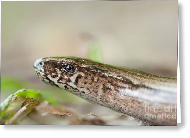 Lizard Head Greeting Cards - Slow-worm Greeting Card by Dr. Thorsten Katz