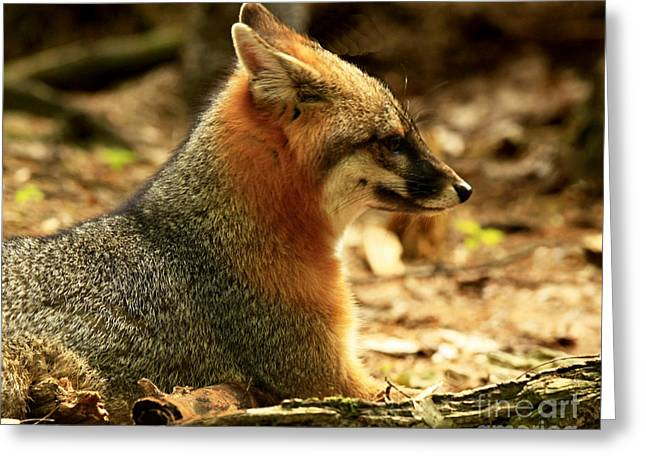 Sly Rare Grey Fox  Greeting Card by Inspired Nature Photography Fine Art Photography