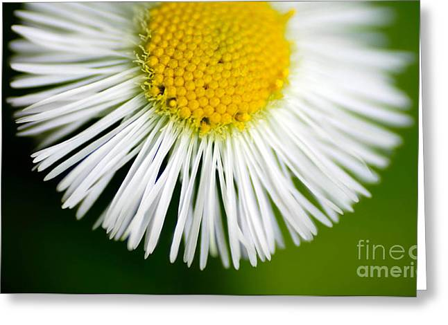 Single Flower Greeting Cards - Small daisy macro Greeting Card by Amy Cicconi