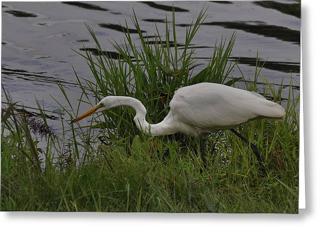 Small Egret Hunting - C4180a4 Greeting Card by Paul Lyndon Phillips