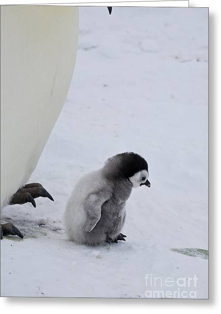 Emperor Penguin Greeting Cards - Small Emperor Penguin Chick Greeting Card by Greg Dimijian