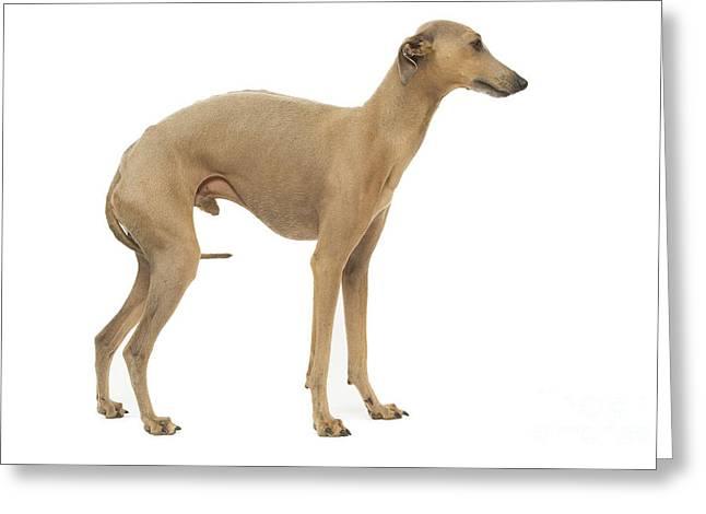 Greyhound Dog Greeting Cards - Small Italian Greyhound Greeting Card by Jean-Michel Labat