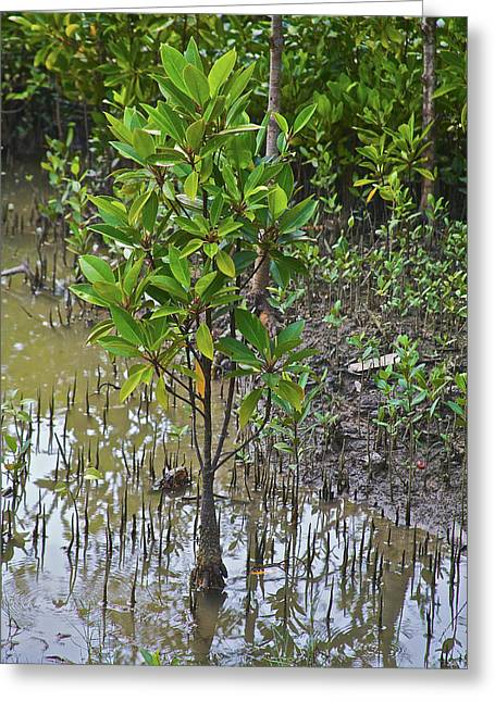 Small Mangrove Tree, Sunderbans Greeting Card by Connie Bransilver