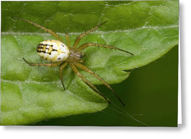 Small Orb-web Spider Greeting Card by Nigel Downer