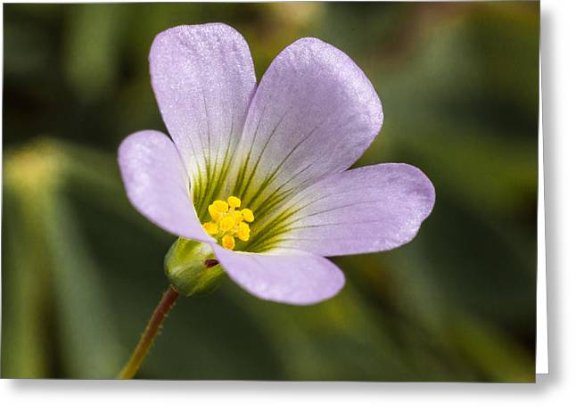 Corymbosa Greeting Cards - Small Oxalis Flower Greeting Card by Craig Lapsley