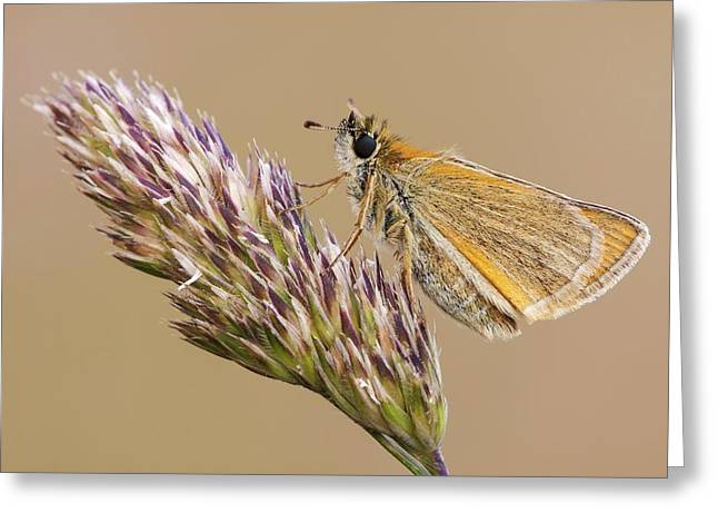 Small Skipper Butterfly Greeting Card by Heath Mcdonald