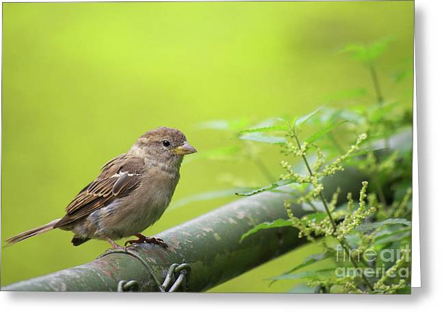Sparrow Greeting Cards - Small sparrow Greeting Card by Angela Doelling AD DESIGN Photo and PhotoArt