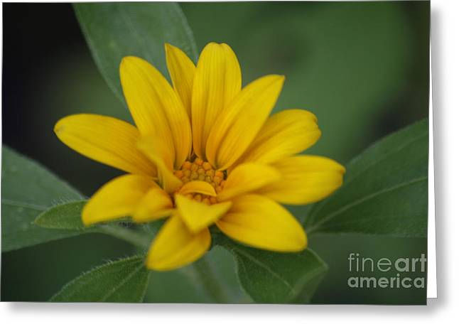 Amanda Collins Greeting Cards - Small Sunflower Greeting Card by Amanda Collins
