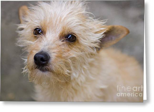 Black Nose Greeting Cards - Small sweet dog  Greeting Card by Patricia Hofmeester