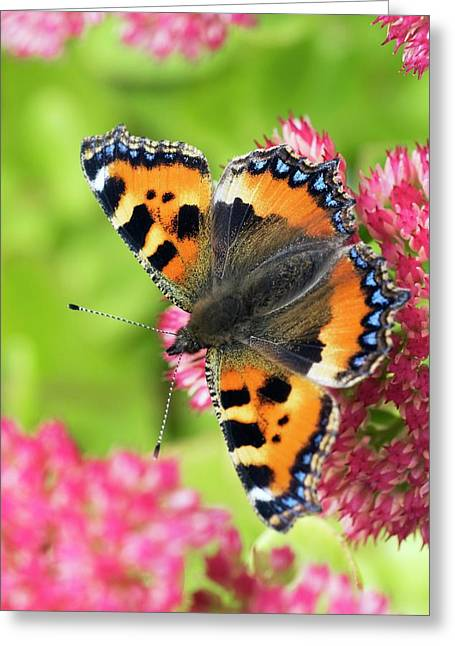 Small Tortoiseshell Butterfly Greeting Card by David Aubrey