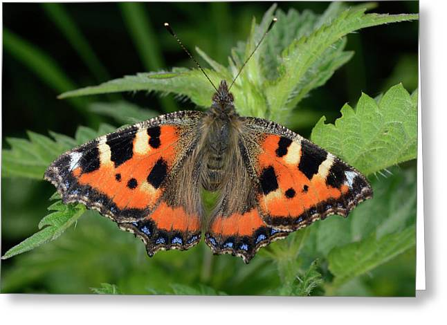 Small Tortoiseshell Butterfly Greeting Card by Nigel Downer