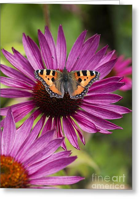 Nymphalidae Greeting Cards - Small Tortoiseshell on Echineca Purpurea flower Greeting Card by Tim Gainey