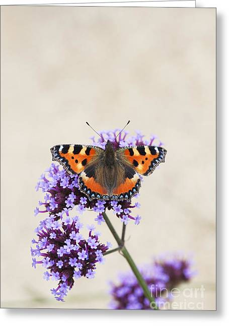 Verbena Greeting Cards - Small Tortoiseshell on Verbena Greeting Card by Tim Gainey