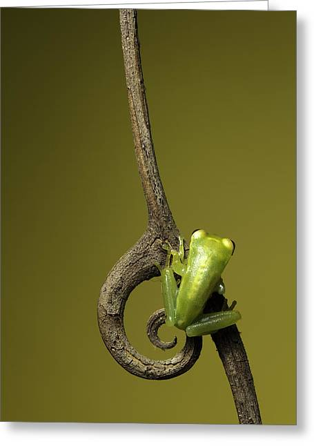 Tree Frog Greeting Cards - Small tree frog Greeting Card by Dirk Ercken