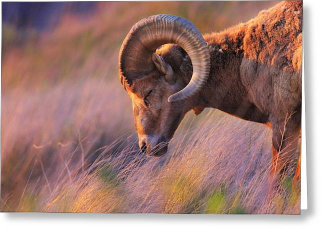 Bighorn Greeting Cards - Smell The Wind Greeting Card by Kadek Susanto