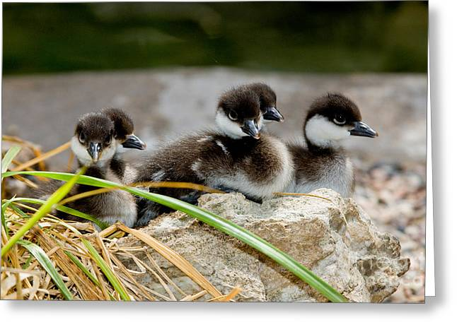 Ducklings Greeting Cards - Smew Ducklings On Shore Greeting Card by Anthony Mercieca